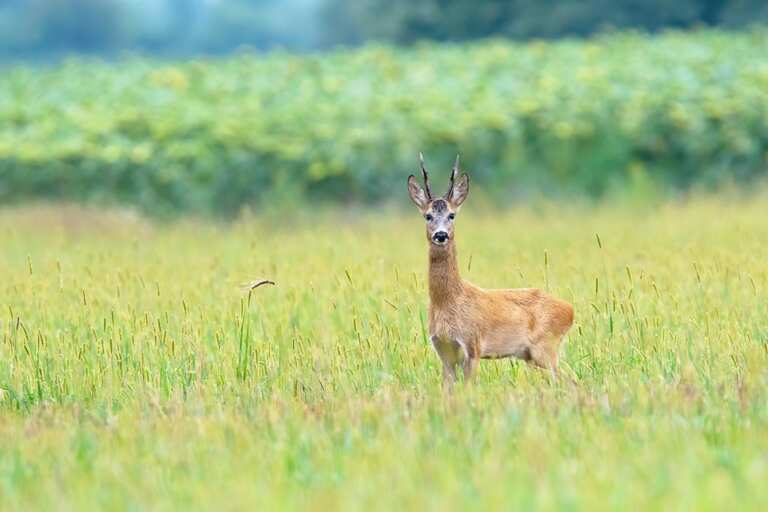 How To Keep Deer From Eating Sunflowers