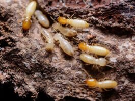 How can Termites Eat up your House and Property Value?